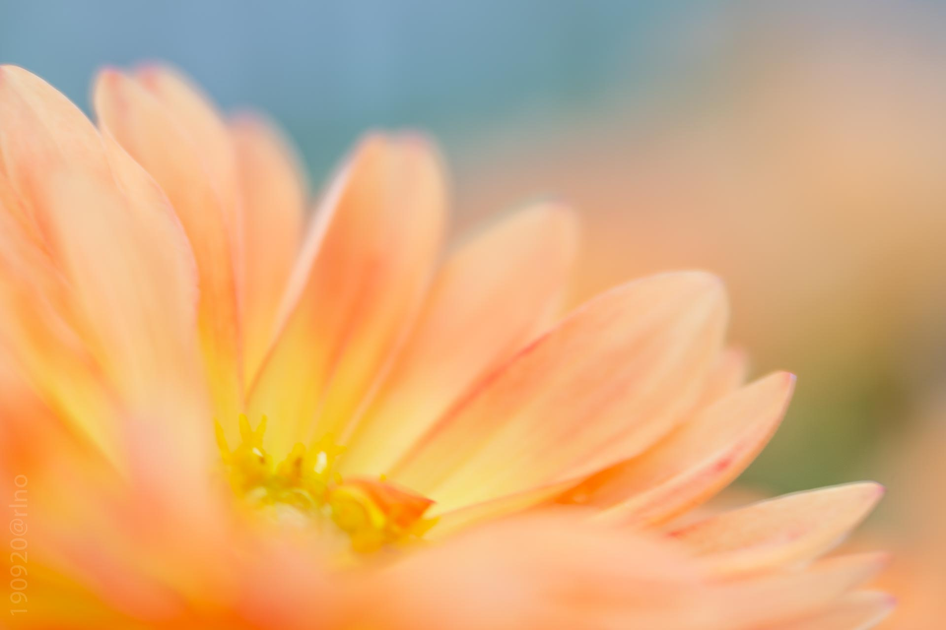 Peachy soft focus flower